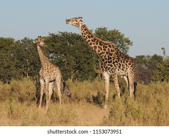 Checking to See if She is On Heat, Giraffes, Okavango Delta, Botswana
