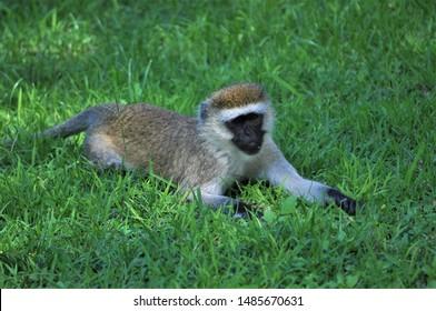 Cheeky, black-faced vervet monkey relaxing on a green grassy lawn