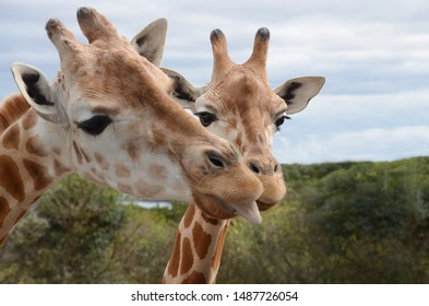 Cheeky Giraffe's tongue out posing for the camera