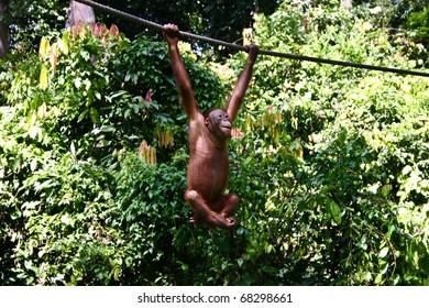 Cheeky orangutang at Sepilok, Borneo