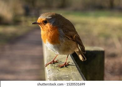 Cheeky Robin.  European robin (Erithacus rubecula), comonly known as the robin or robin redbreast