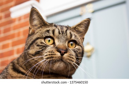 Cheeky tabby cat, looking at birds in the garden. Kent, England.