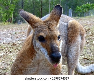A cheeky wallaby pocking out its tongue