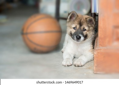 Cheerful Bangkaew puzzy dog shows tongue and sit near leather basketball