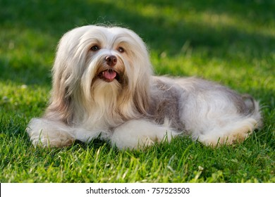 Cheerful chocolate sable colored havanese dog is lying in the grass - Show Champion