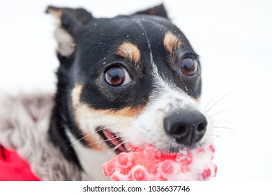 cheerful dog Jack Russell terrier on a winter walk in a red suit