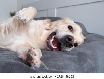 A cheerful dog lies on a bed with a gray blanket. Happy golden retriever in the bedroom. The concept of animals in the house.