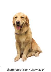 cheerful golden retriever isolated in white background with clipping path