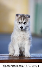 A cheerful gray husky puppy is sitting