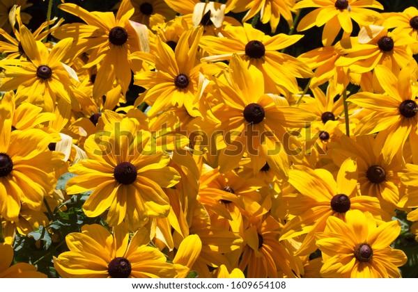 Cheerful Group of Black Eyed Susan Flowers in Full Bloom