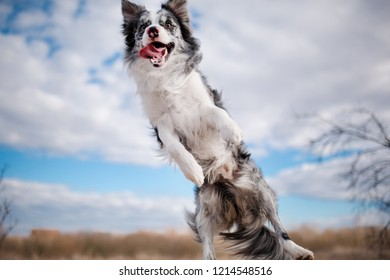 cheerful jumping dog Border Collie the blue sky