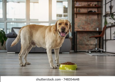 Cheerful labrador eating food from bowl