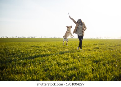 Cheerful labrador retriever dog runs and jumps for the stick in the field with its owner on a sunny spring day. Young playful dog being active on the green grass. Happy pet concept