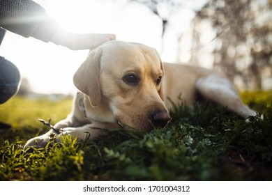 Cheerful labrador retriever dog walks in the park with its owner on a sunny spring day. Young playful dog lays on the green grass on the soil ground. Happy pet concept