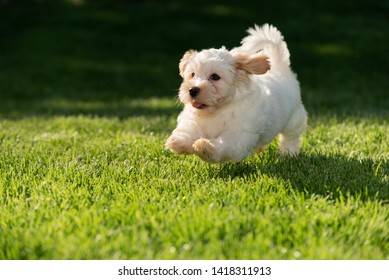 Havanese Images, Stock Photos & Vectors | Shutterstock