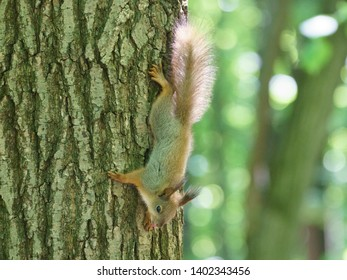 Cheerful mischievous little squirrel in a city park on a sunny spring day. Squirrel deftly climbs a tree trunk. Her fur glows in the sun beams.