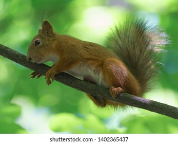 Cheerful mischievous little squirrel in a city park on a sunny spring day. A squirrel cleverly climbs a thin branch of a tree.
