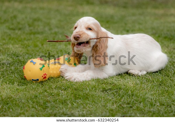 Cheerful mischievous spaniel puppy playing with squeaky toy and stick