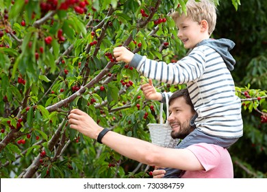 cheerful positive boy sitting on his father shoulders enjoying spring family activity picking cherry berries from the tree during u-pick season at the farm