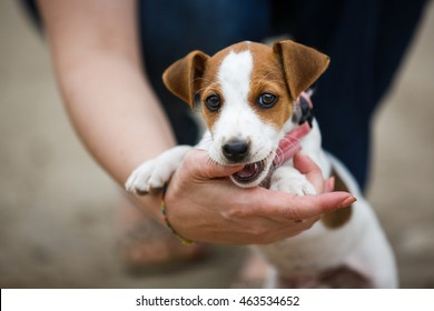 Cheerful puppy Jack Russell terrier playfully biting the fingers of its owner