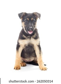 cheerful Shepherd puppy on a white background isolated