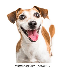 Cheerful smiling happy dog Jack Russell terrier  muzzle. Small cute pet on white background