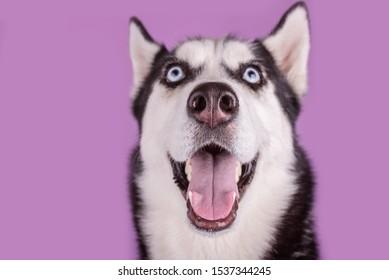 Cheerful smiling happy husky dog  muzzle close up. Concept of dog emotion
