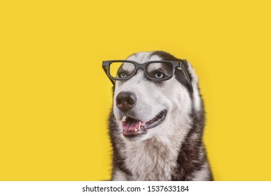 Cheerful smiling husky dog in glasses on yellow background. Dog is waiting dog treats
