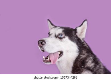 Cheerful smiling husky dog wait dog treats. Dog emotions close up on magenta background