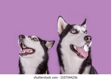 Cheerful smiling two happy husky dogs muzzle banner on magenta background. Concept of dogs emotion