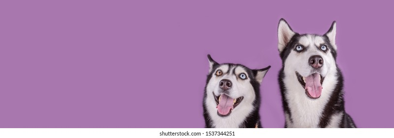 Cheerful smiling two happy husky dogs muzzle banner on magenta background. Concept of dog emotion