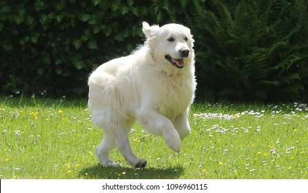 A cheerful white English Golden Retriever jumping