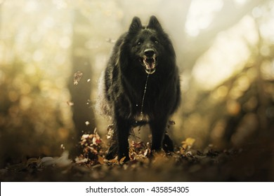 cheerful, young, beautiful, witty and quick, playful black belgian shepherd dog breed Chien de Berger Belge - Groenendael running in summer forest with sunset