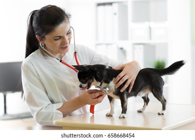 Cheerful young female veterinarian doctor using stethoscope listening to the heartbeat of a terrier canine pet dog at the vet clinic