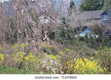 cheery blossom