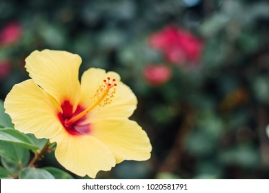 Cheery Yellow Hibiscus with room for copy symbolizing tropical parasdise or hawaii