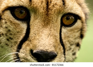 Cheeta close up at Kruger National Park, South Africa