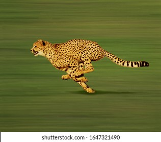 Cheetah, acinonyx jubatus, Adult running