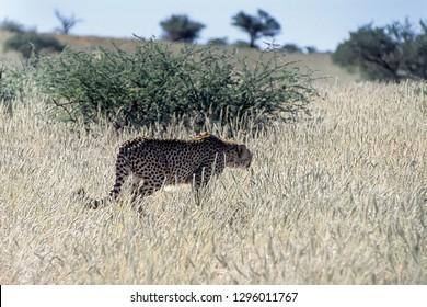 Cheetah (Acinonyx jubatus), Africa, Namibia, Hardap, Kalahari