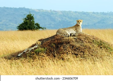 A cheetah (Acinonyx jubatus) and cheetah cub on the Masai Mara National Reserve safari in southwestern Kenya.