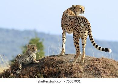 A cheetah (Acinonyx jubatus) and cheetah cub on the Maasai Mara National Reserve safari in southwestern Kenya.