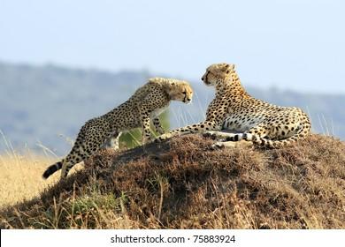 A cheetah (Acinonyx jubatus) and cheetah cub on the Masai Mara National Reserve safari in southwestern Kenya.