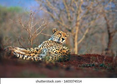 Cheetah (Acinonyx jubatus), also a hunting leopard resting on red soil. Adult elderly male cheetah lying on a hill of red clay. Wildlife photo from a position from the ground. Eye-to-eye look cheetah.