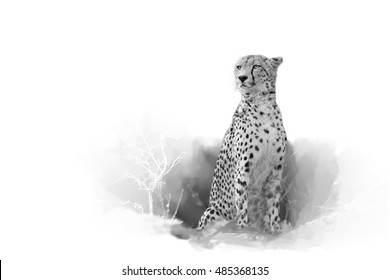 Cheetah, Acinonyx jubatus, isolated on white background with touch of envrinoment, artistic black and white photo. Leopard Mountains, Hluhluwe, KwaZulu-Natal, South Africa.
