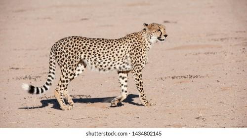 Cheetah (Acinonyx jubatus) Kgalagadi Transfortier Park, South Africa