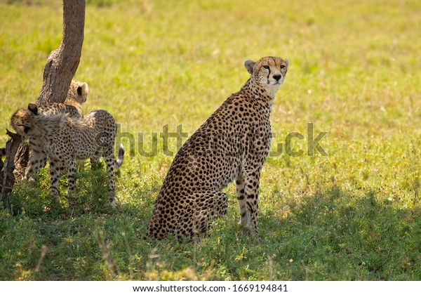 The cheetah (Acinonyx jubatus) is a large cat of the subfamily Felinae that occurs in North, Southern and East Africa, and a few localities in Iran.