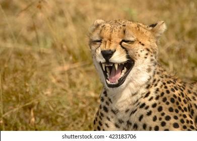 Cheetah (Acinonyx jubatus) - Laugh