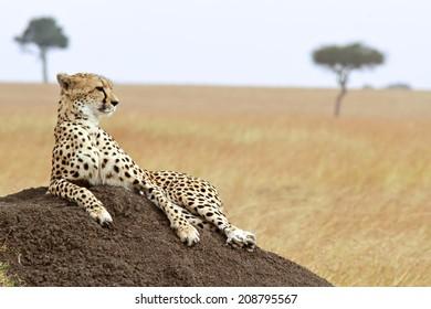 A cheetah (Acinonyx jubatus) on the Masai Mara National Reserve safari in southwestern Kenya. soft focus