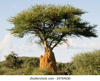 Cheetah (acinonyx jubatus) on Termite Mound under tree, Namibia