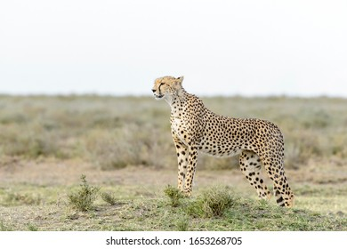 Cheetah (Acinonyx jubatus) standing on savanna, searching for prey, Ngorongoro conservation area, Tanzania.